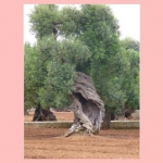 La Valle d'Itria olivi secolari