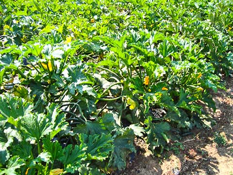 zucchine-bio